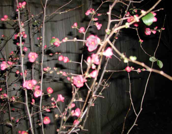 11107.49.Quince-blossoms