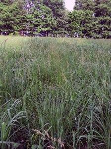 Gama-grass